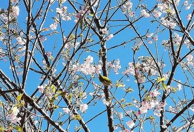 日本平桜.jpg